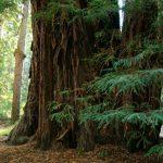 giant-redwood-trees-in-california-1392190409EKX